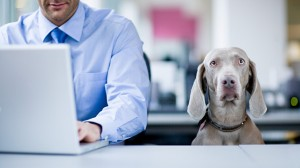 Weimaraner and man in office